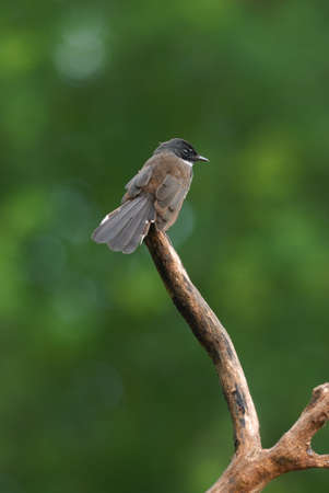 fantail: Pied Fantail catch on perch