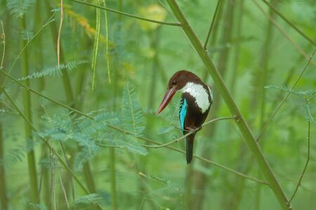 White-throated Kingfisher photo