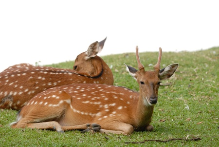axis deer: Chital, Cheetal, Spotted deer, Axis deer