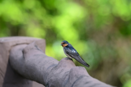Barn Swallow ,Bird of Thailand photo