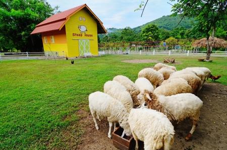 Sheep farm photo