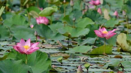 Lotus pink color photo