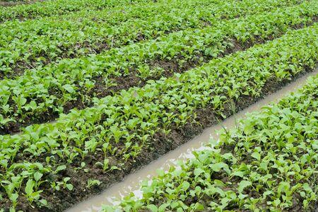 Vegetable garden ,Vegetable bed, Vegetable plot  photo