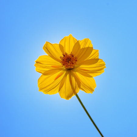 Yellow Cosmos Flower on blue sky background photo