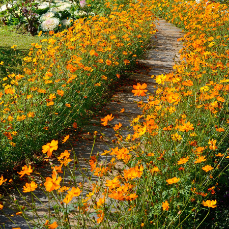 Yellow Cosmos Flower beside footpath  photo