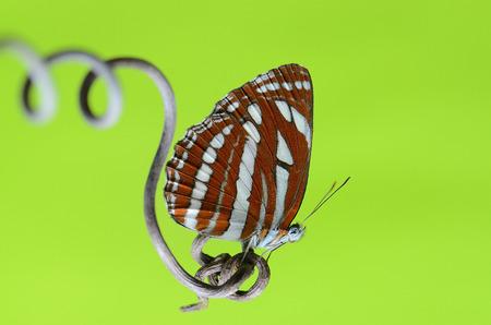蝶の名前は緑色で一般的な美少女戦士セーラームーンです。