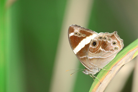 beuty of nature: Butterfly   Banded Treebrown   in curve leaf