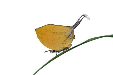 vividly: Yellow Butterfly  Threespot Yamfly  on green leaf Stock Photo