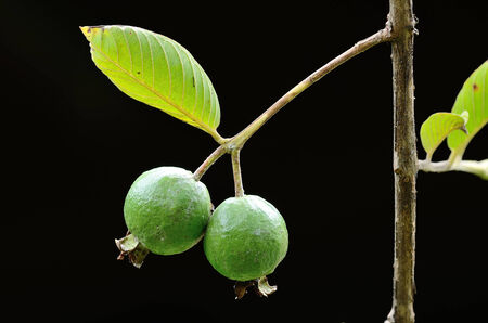 guava fruit: Fresh guava on tree