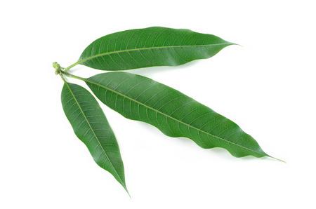 マンゴー葉