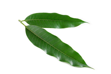 mango tree: mango leaf