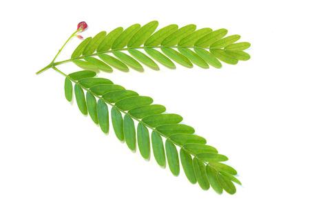 タマリンドの葉 写真素材