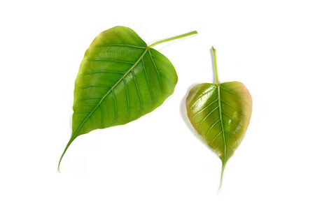 pipal: pipal leaves