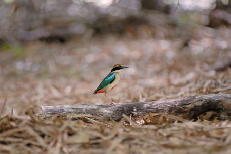 nympha: Fairy Pitta (Pitta nympha) standing on the log Stock Photo