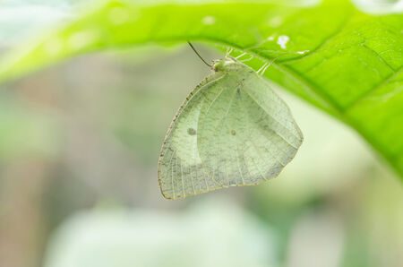 emigrant: Butterfly catch under leaves, Mottled Emigrant