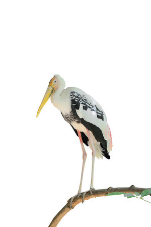 Painted Stork on branch in white background photo
