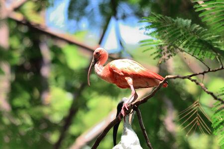 black headed: Black Headed lbis, Juvenile  Bird ( Threskiornis melanocephalus ) stand on branch