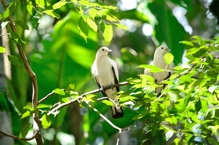 Pie imperial pigeon. White couple bird on branch photo
