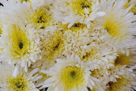 barberton daisy: Close up beautiful flower. Gerbera or Transvaal daisy or Barberton daisy