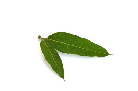 mango tree: Mango leaves on white background