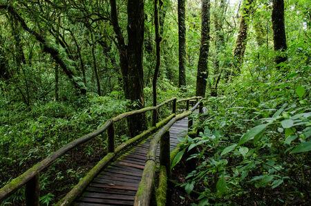 Rain forest at Ang Ka nature trail in doi inthanon national park, Chiangmai ,Thailand photo