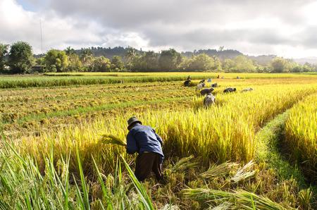 2014 年 11 月 4 日にチェンマイの水田から農民収穫稲。