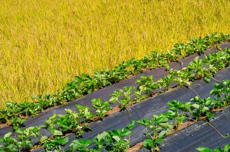 strawberry farm and yellow paddy rice field photo