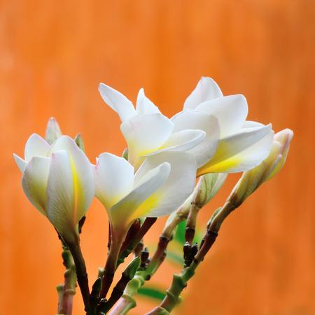 inflorescence: Plumeria. Beautiful white inflorescence. Stock Photo