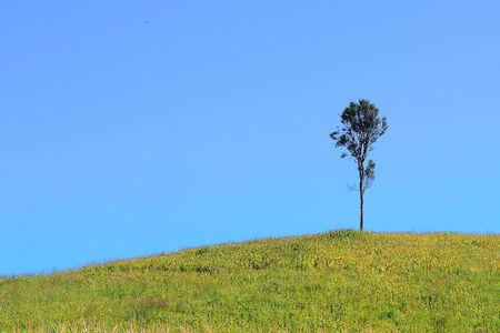 Big tree in corn field photo