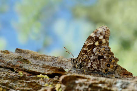 blackspotted: Butterfly Thailand \Black-spotted Labyrinth