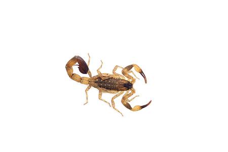 Scorpion (Isometrus maculatus) isolate on white background