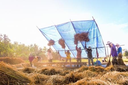 threshing: The traditional way of threshing grain in northeast of Thailand.