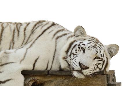 catamountain: White Tiger sleep on desk