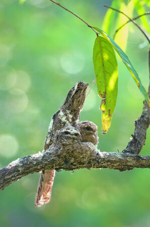 incubate: Hodgsons Frogmouth Bird is unseen of thailand incubate juvenile in the nest on the tree.