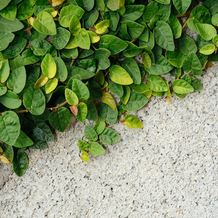 creeping fig: Creeper plant( Climbing Fig, Creeping Fig, Creeping Rubber Fig) covered wall.