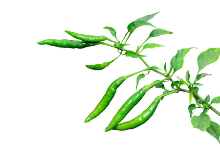tapering: chilli peppers on tree againt white background