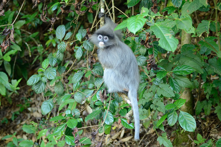 dusky: dusky langur or Phayre\ Stock Photo