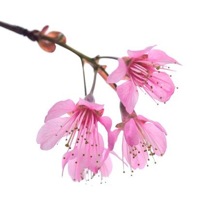 白地桜の花咲く分離 写真素材