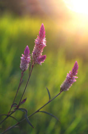nicotinic: Cockscomb flower in morning time. Stock Photo