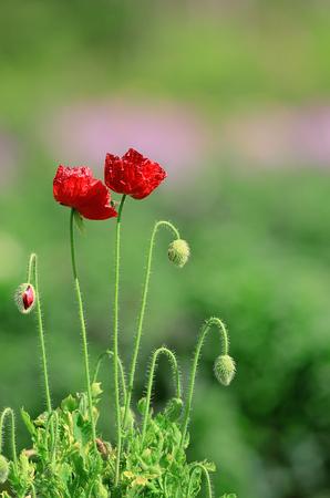 behalf: Poppy Flower in green background behalf Veterans General day