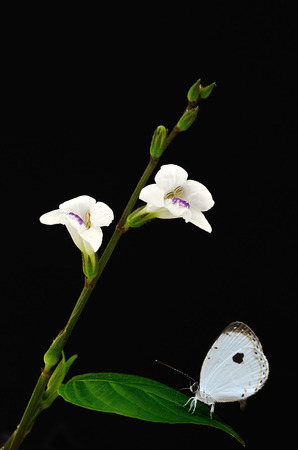 quaker: White cultivated orchid flower Butterfly (Forest Quaker) perching on leaves Stock Photo