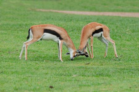 intimidate: Gemsbok fighting Stock Photo
