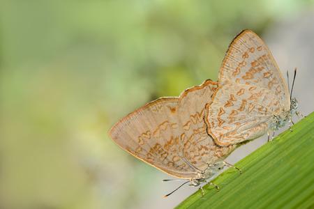 Butterflies (Common Gem) breeding on green leaves photo