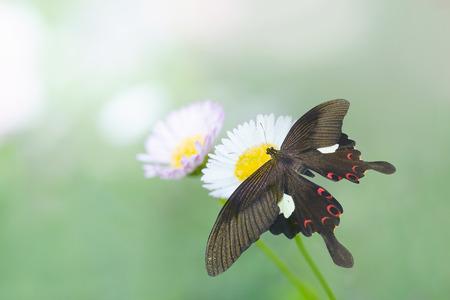helen: Butterflie (Great Helen) on flowers