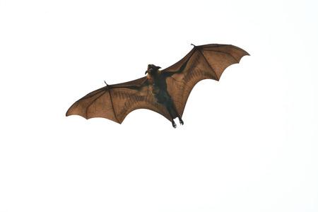 Mammal Bat flying with juvinile bat on white background photo