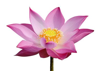 lotiform: Pink Lotus blooming Stock Photo