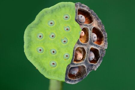 impermanent: Impermanent of calyx and lotus seeds compare between old and fresh calyx ,Lotus seeds Stock Photo