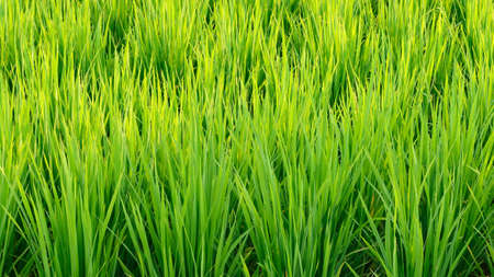 emerging economy: Green Rice field for texture background