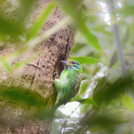 moustached: Bird (Moustached Barbet) perching on tree