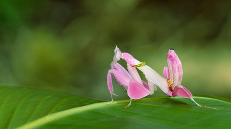 orchid mantis grasshopper Stock Photo